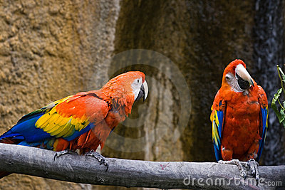 Two parrots bickering