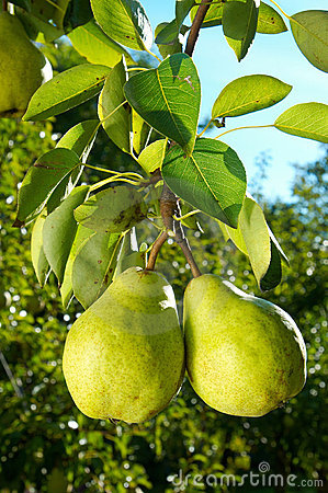 Free Two Pears Royalty Free Stock Photos - 2055448