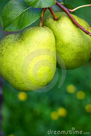 Free Two Pears Royalty Free Stock Photos - 40768