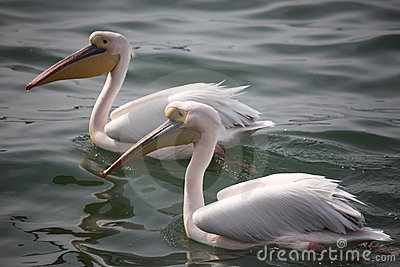 Two pelicans on lake