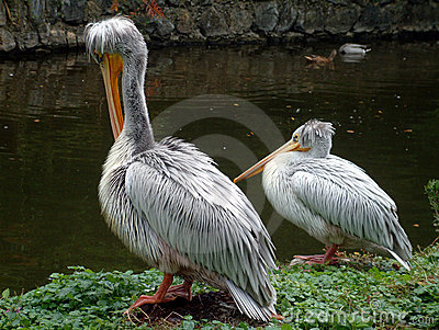 Two pelicans by lake