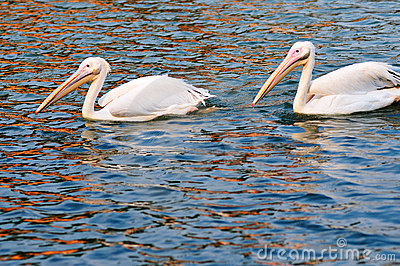 Two pelicans swimming