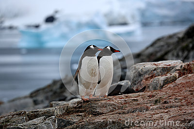 Two gentoo penguins on a rock in Antarctica