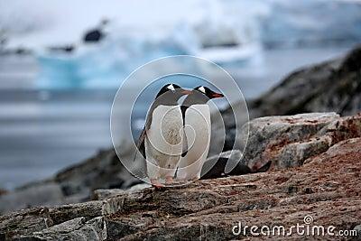 Two gentoo penguins on a rock in Antarctica