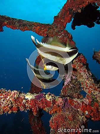 Free Two Pennant Bannerfish Royalty Free Stock Photos - 32593218