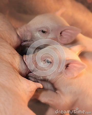 Free Two Piglets Nursing Royalty Free Stock Photos - 12043208