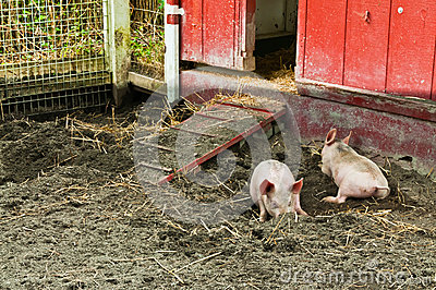 Two Piglets Rooting