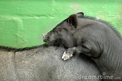 Two pigs mating