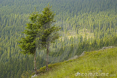 Two pine trees