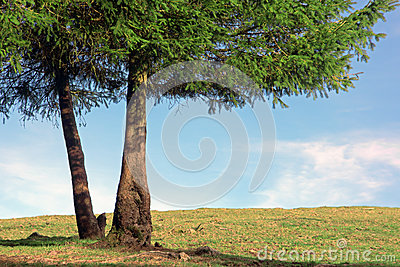 Two pine trunks on sunny day
