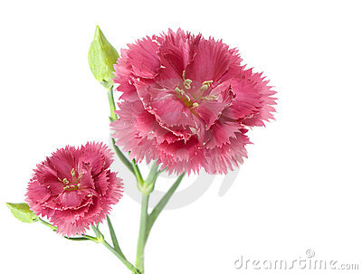 Two pink carnation flowers