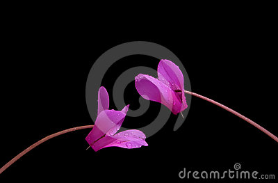 Two pink cyclamen