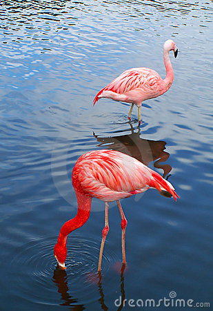 Two pink flamingo birds