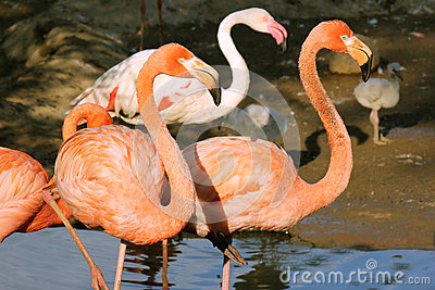 Two pink flamingo standing