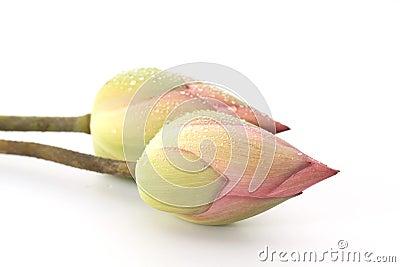 Two Pink water lotus