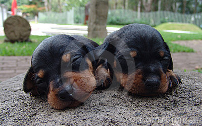 Two pinscher puppies