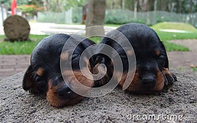 Two pinscher puppies