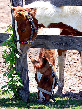 Two Pinto Foals