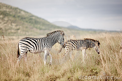 Two Plains Zebra