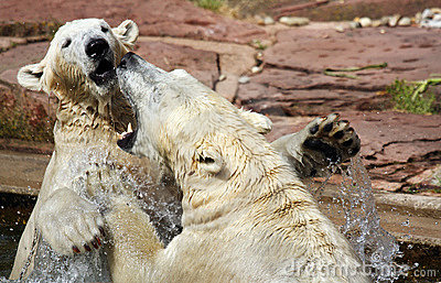 Two playful polar bears