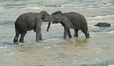 Two playing elephants