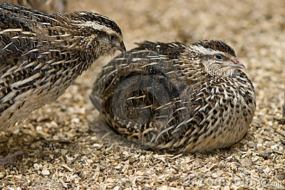 Two plump quails