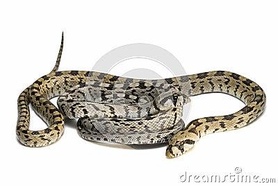 Two poisonous snakes.