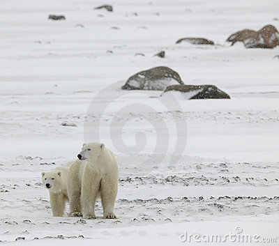 Two polar bears. 2