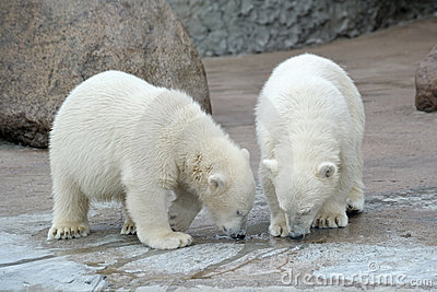 Two polar bears drink from a pool