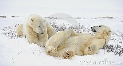 Two polar bears have a rest.