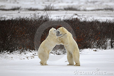 Two polar bears playfighting