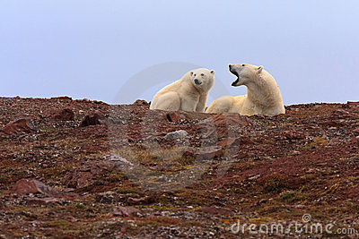 Two Polar Bears on Rocky Hill