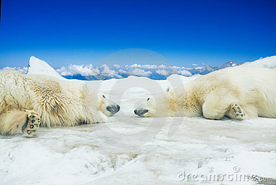Two polar bears sleep on ice
