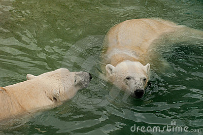 Two polar bears in water