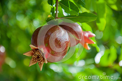 Two pomegranates on a branch