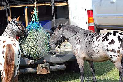 Two ponies feeding from hay net.