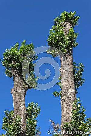 Two poplar