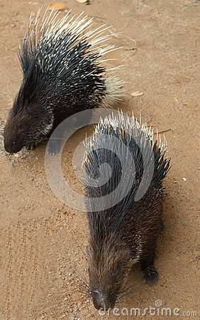 Two porcupines