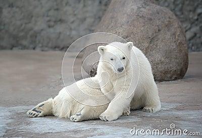 Two pretty polar bears