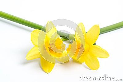 Two pretty yellow daffodils