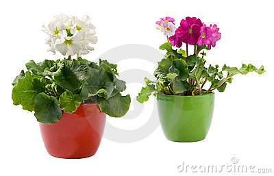 Two primroses in pots