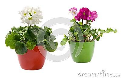 Two primroses in pots