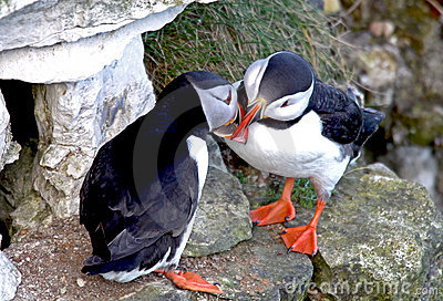 Two puffin birds kissing