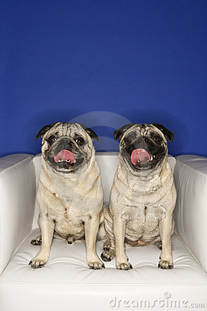 Free Two Pug Dogs Sitting In Chair. Stock Image - 2045321