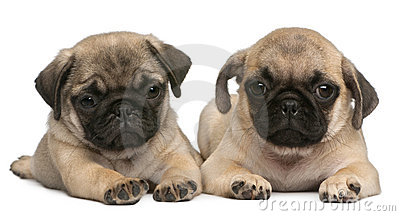 Two Pug puppies, 8 weeks old, in front of white