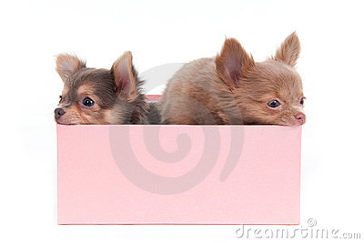 Two Puppies in a Box
