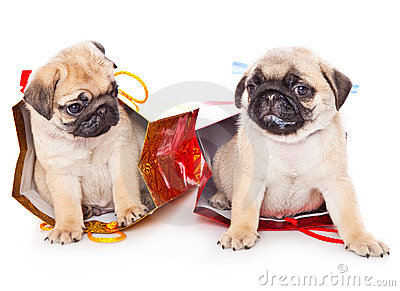 Two puppies of pug in bags