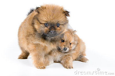 Two puppies of the spitz-dog in studio