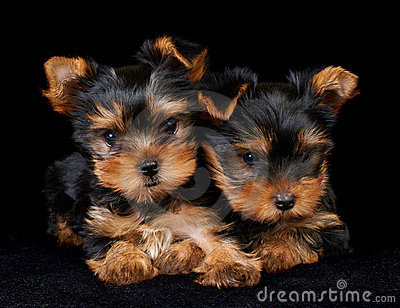 Two puppies of the Yorkshire Terrier on black