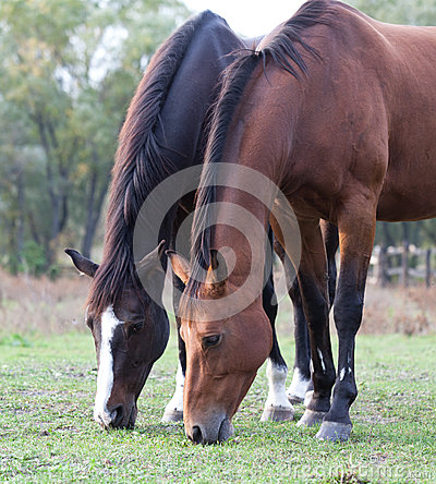 Two purebred horses grazing in a meadow